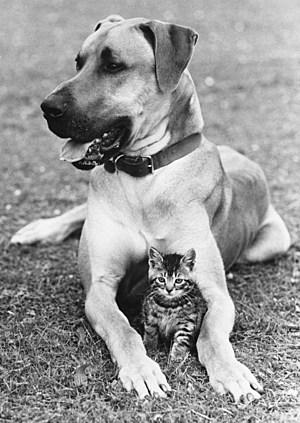 Great Dane And Kitten