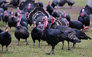 Demand Increases For Organic Turkey During Festive Season