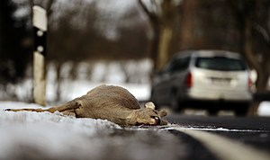 Road accident with deer